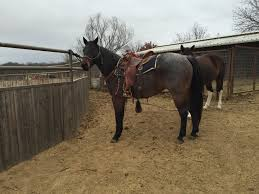 Ace Well Trained Gelding For Rehoming