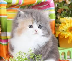 dilute calico kittens for sale. Delighful Sale Dilute Calico Patchwork Persian Kitten Throughout Kittens For Sale Doll Face