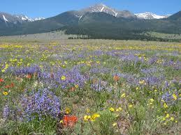 Image result for colorado wildflowers