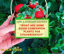 good companion plants for strawberries