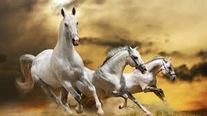 white horses running. Beautiful White Intended White Horses Running 7