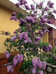 Lilacs In Landscape Design Sweet Smelling Lilac Tree In Our Courtyard Lilac Tree
