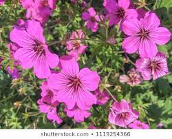 Geranium Psil Patricia Flowers High Res Stock Images | Shutterstock