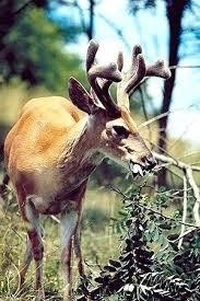 Deer Antler Growth Chart Preciouspet Info