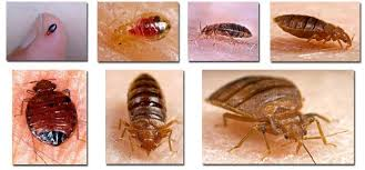Are There Different Types Of Bed Bugs Facts About Bed Bugs Bed
