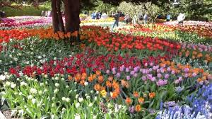 2017 tulip gardens at roozengaarde in skagit valley tour with skagit guided adventures