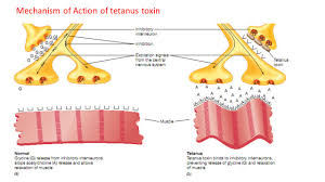 tetanus toxin toipc number seven mechanism of bacterial damage and bacterial