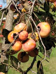 North Carolina Native Plants Society  Native Plants Gallery Fruit Trees That Grow In Nc