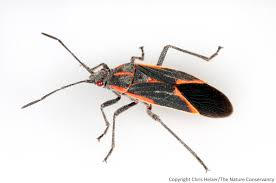 Little Black Bugs In Kitchen Thank Goodness For Boxelder Bugs The Prairie Ecologist