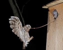 eastern screech owl nest observations