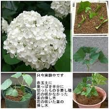 紫陽花 の 挿し木 の 仕方 を 教え て ください