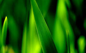 grass blade close up. Close-up Of Green Grass Blades, Leaves Soft Focus Photography Wallpaper Blade Close Up