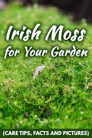 irish moss for your garden care tips