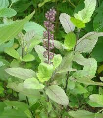 প্রাণকাকলি বাংলাদেশের ঔষধি গাছের  tulsi a very famous medicinal plant of