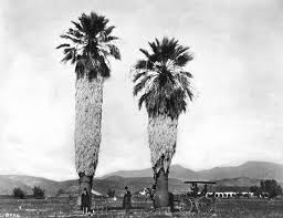 fan palm trees. men rest beneath two fan palms, perhaps planted by spanish missionaries, in front of palm trees