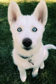 cute puppies with blue eyes. Interesting Eyes 18 Cute Dog Puppies With Blue Eyes Dogs Puppies In Eyes