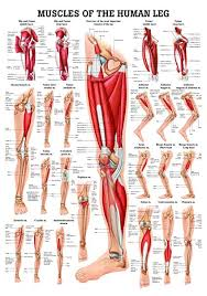 Buy Muscles Of The Leg Laminated Anatomy Chart Online At Low