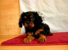 cavalier king charles spaniel black and tan puppy. Plain Cavalier And Cavalier King Charles Spaniel Black Tan Puppy L