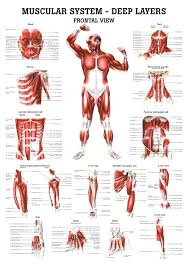 Dog Anatomy Chart Of The Skeleton And Muscles Canine Muscle ...