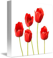 >red tulips white background wall art by natalie kinnear