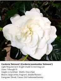 gardenia vetchii blog gardenia belmont blog gardenia august beauty