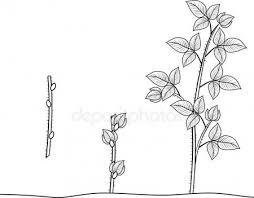 Vegetatieve Voortplanting Stockvectors Rechtenvrije Vegetatieve