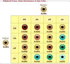 Eye Color Genetics Chart This Is A Picture Of A Punet Square For Eye Color Genetics