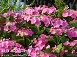 hortensien schneiden im frühjahr