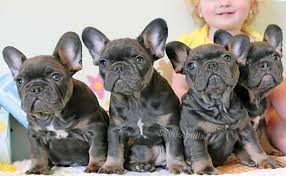 blue tri french bulldog puppies with