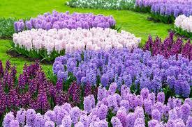 flowers for garden. Hyacinth, Purple Flower, Garden Shutterstock.com New York, NY Flowers For Y