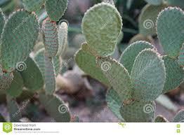 Light Blue Cactus Light Blue Cactus Stock Image Image Of Field Plants 82163649