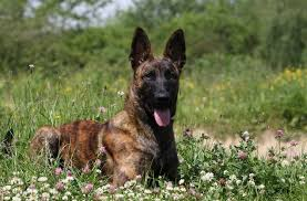 German Shepherd Exercise Chart Dutch Shepherd The Ultimate Breed Guide To This Brindle