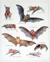 Bat Species Chart Popular Items For Vintage Bat Print On Etsy Bat Species