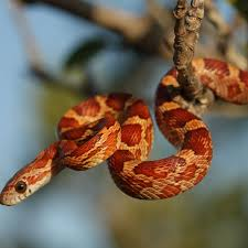 How To Care For Pet Corn Snakes