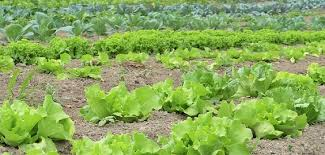 Difference Between Subsistence And Commercial Farming With