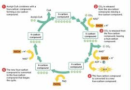 metabolism diagrams use the following links to draw diagrams of    http   masterman   pbworks com f     krebs cycle diagram jpg