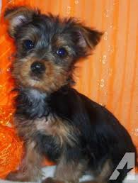 yorkie puppies 8 weeks old for in parker kansas