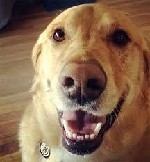 golden retriever lab mix. Modren Mix Goldador Dog Breed Picture On Golden Retriever Lab Mix L