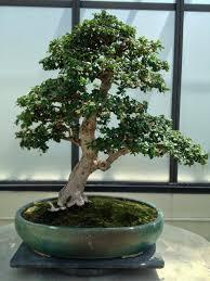 bonsai tree for office. Bonsai Tree Office Plant Desk For O