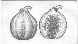 Товароведение и экспертиза свежих плодов и овощей Курсовая работа Таблица 3 Температурный режим хранения цитрусовых плодов в зависимости от степени зрелости вызванное длительным хранением цитрусовых плодов при низкой