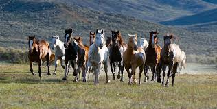 Image result for running mustangs
