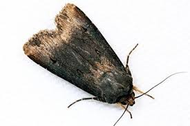 Black Cutworm Moths Captured Throughout Midwest Integrated Crop