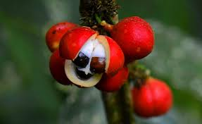 Image result for guarana