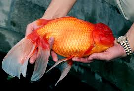 Fantail Goldfish Growth Chart 3 Pound Goldfish Found Howd It Get So Big National