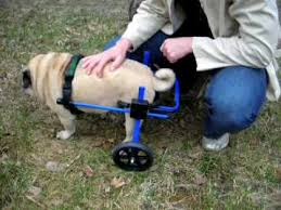 a dog wheelchair can be a life changer