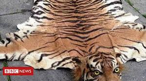 trader sold extinct tiger skin rugs on bbc news