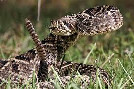rattlesnake strike pose. Modren Rattlesnake Rattlesnake Strike Pose Drawing  Photo4 In Strike Pose I