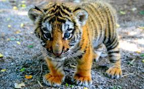 cute baby tiger wallpaper. Brilliant Baby Wallpapers For U003e Cute Baby Tiger Wallpaper Throughout I
