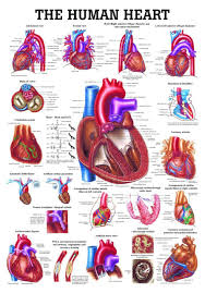 Cardiac Anatomy Chart The Human Heart Laminated Anatomy Chart