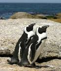 Images & Illustrations of African penguin